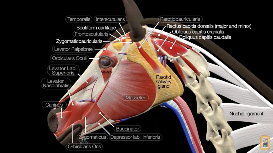 Screenshot - Horse Anatomy: Equine 3D